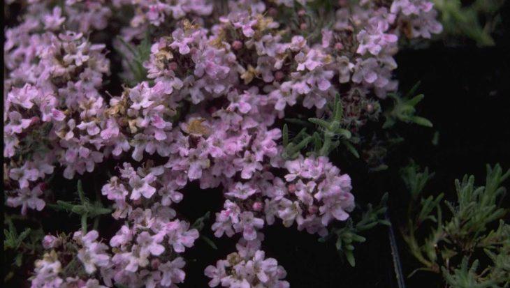Thymus broussonetii