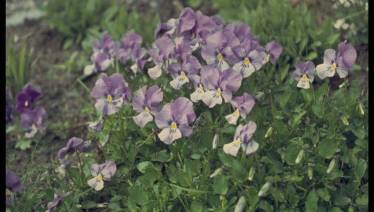Viola 'Lilacina'