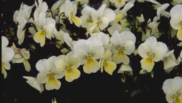 Viola 'White Perfection'