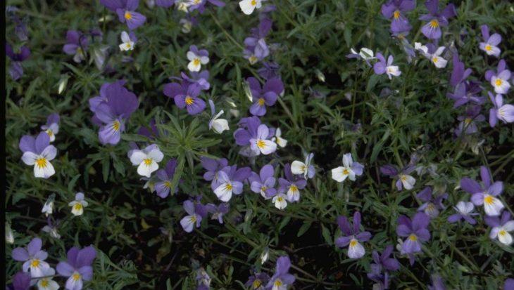 Viola curtisii