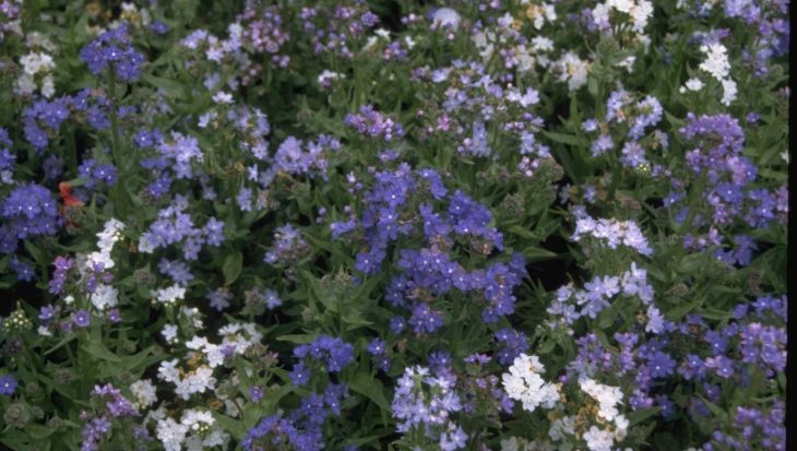 Anchusa capensis 'Dawn'