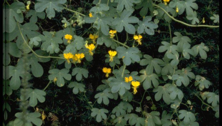 Tropaeolum peregrinum