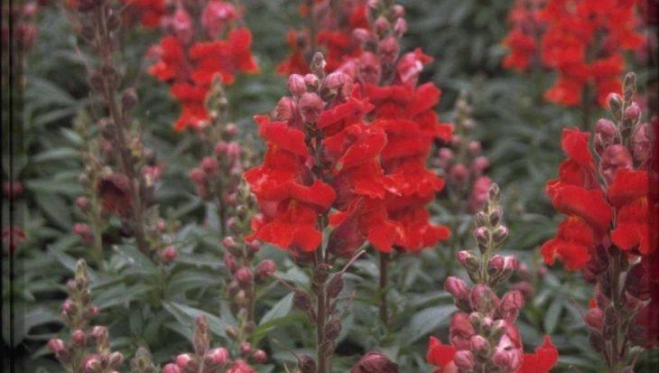Antirrhinum majus 'Coronette Crimson'