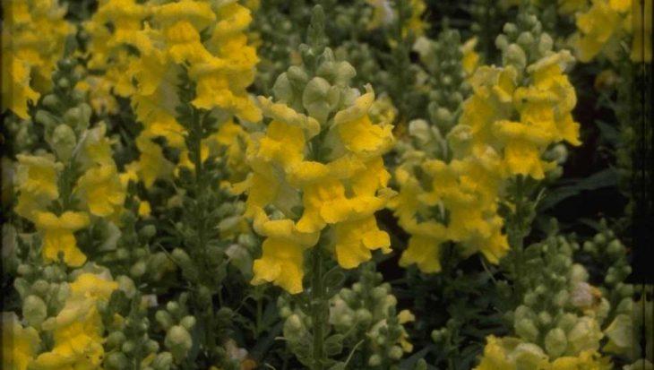 Antirrhinum majus 'Coronette Yellow'