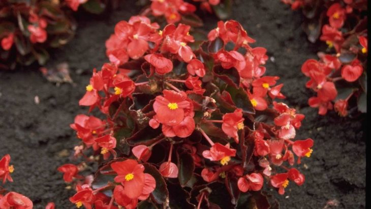 Begonia semperflorens 'Rood'