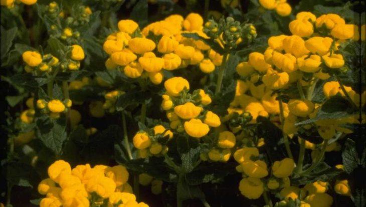 Calceolaria 'Sunshine'