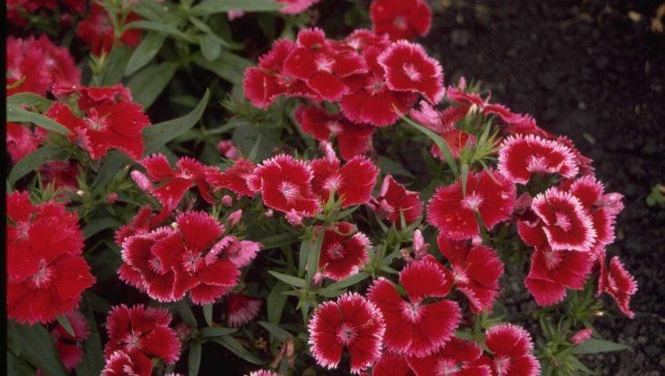 Dianthus chinensis 'Carmine Rose Margin'