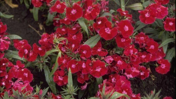 Dianthus chinensis 'Deep Violet'
