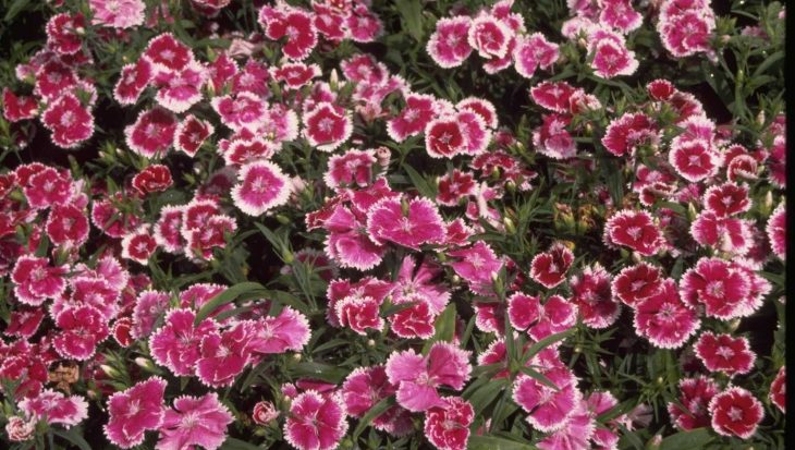Dianthus chinensis 'Violet Picotee'