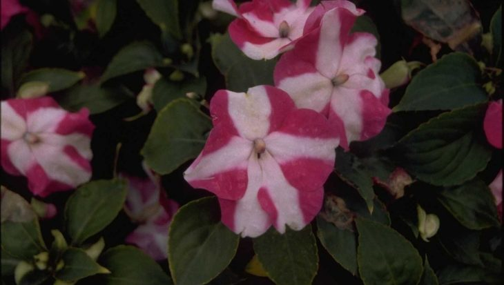 Impatiens walleriana 'Rose Star'