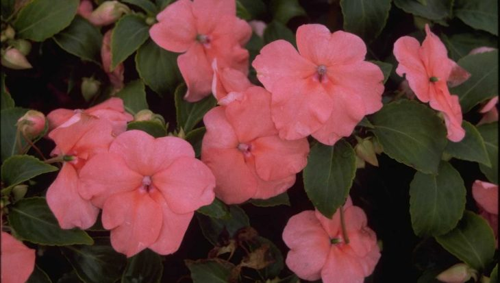 Impatiens walleriana 'Salmon'
