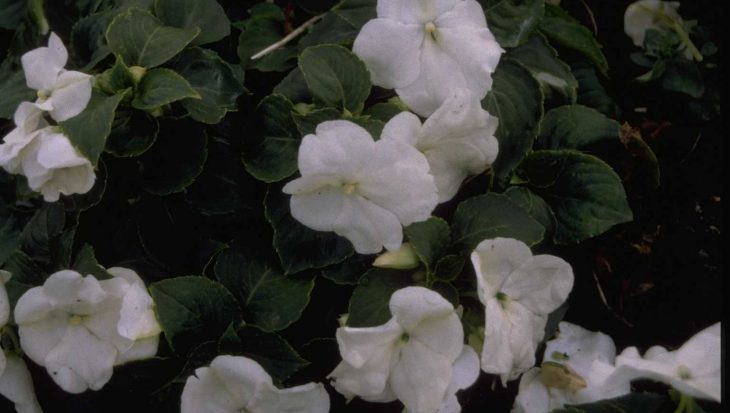 Impatiens walleriana 'White'