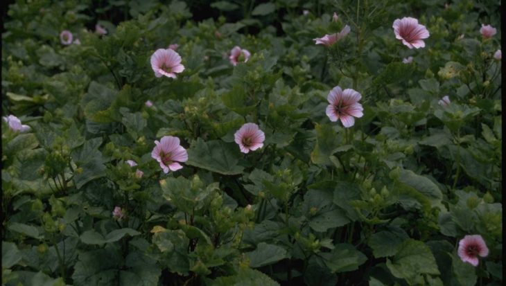 Malope trifida 'Pink Queen'