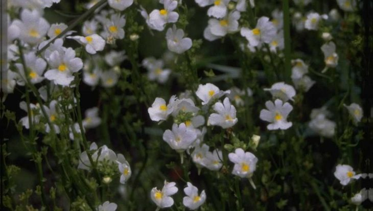 Nemesia caerulea 'Innocence'