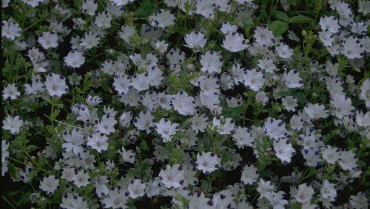 Nemophila maculata 'Five Spot'