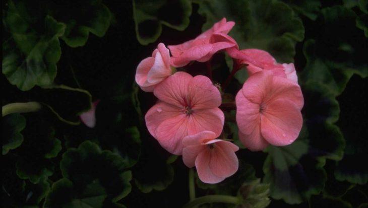 Pelargonium Zonal Group