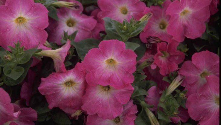Petunia 'Polo Rose Flare'