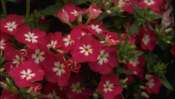 Phlox 'Palona Rose with Eye'