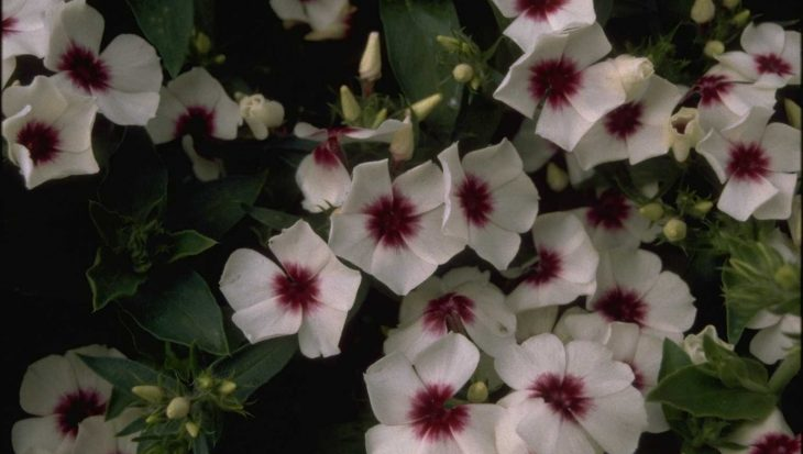 Phlox 'Palona White with Eye'