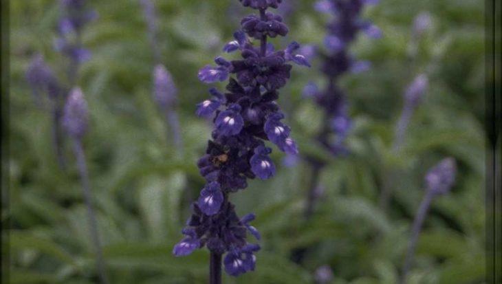 Salvia farinacea 'Renaissance'