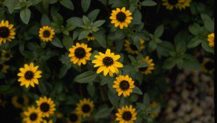 Sanvitalia procumbens 'Yellow Prince'