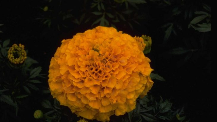Tagetes erecta 'Antigua Orange'