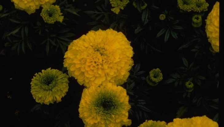 Tagetes erecta 'Antigua Yellow'