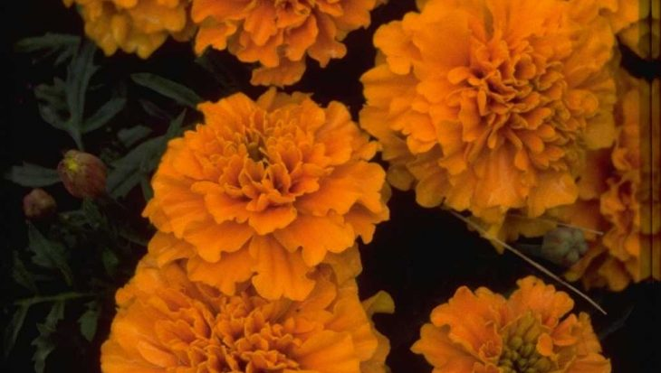 Tagetes patula 'Sunshine Orange'