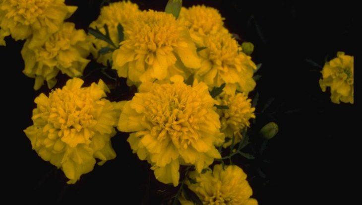 Tagetes patula 'Sunshine Yellow'