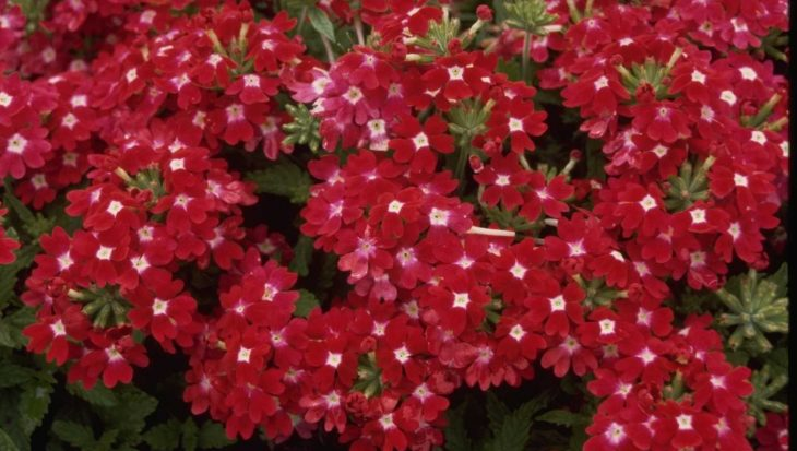 Verbena 'Romance Carmine with Eye'