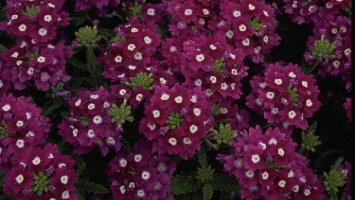 Verbena 'Romance Violet with Eye'