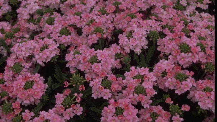 Verbena 'Romance Pink'