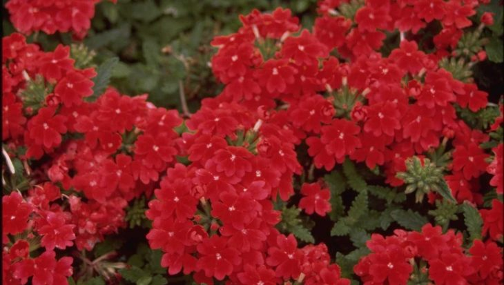 Verbena 'Romance Scarlet'