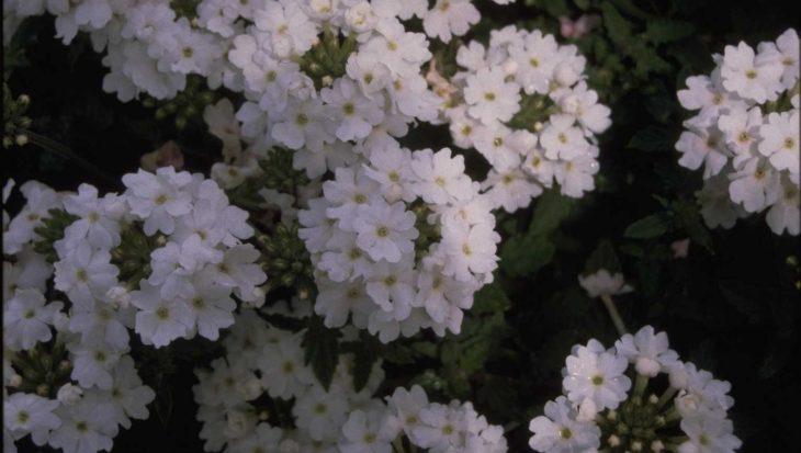 Verbena 'Elegance White'