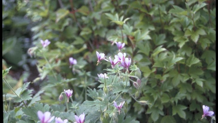 Geranium aristatum
