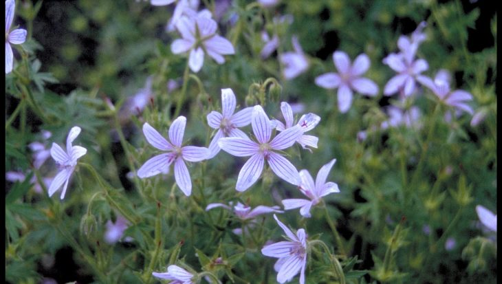 Geranium asphodeloides 'Prince Regent'