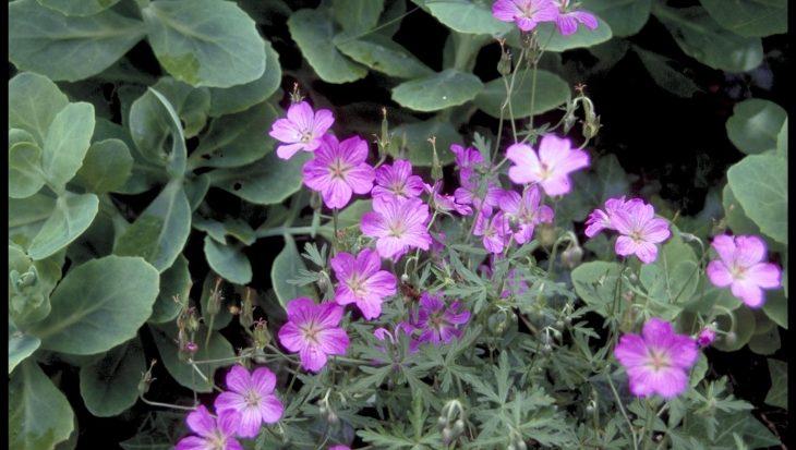 Geranium caffrum
