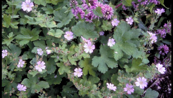 Geranium 'Chantilly'