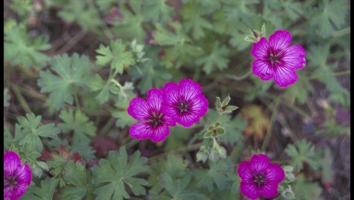 Geranium cinereum 'Carol'