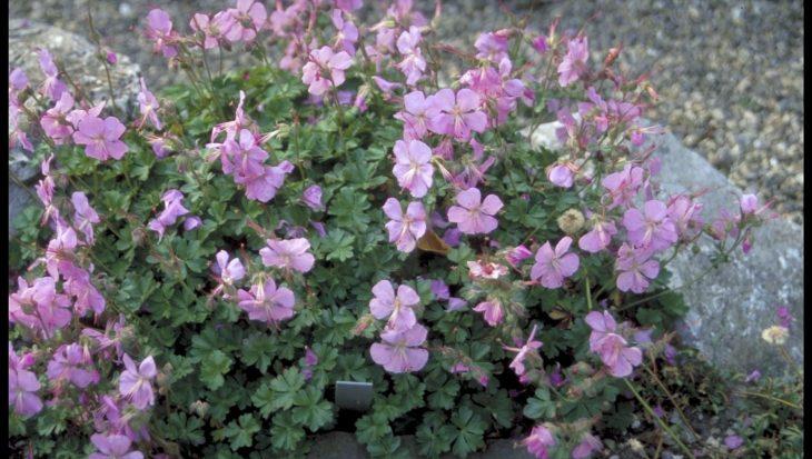 Geranium dalmaticum 'Bressingham Pink'