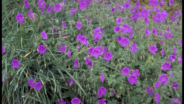 Geranium kishtvariense