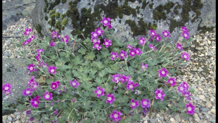 Geranium 'Orkney Pink'
