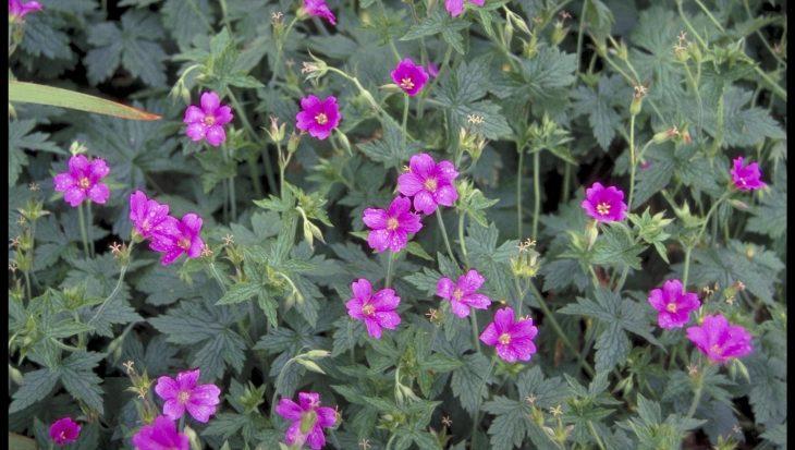 Geranium x oxonianum 'Phoebe Noble'