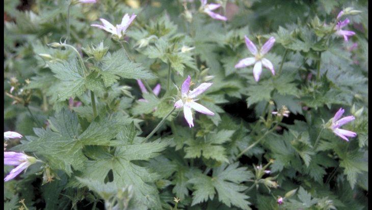 Geranium x oxonianum 'Sherwood'