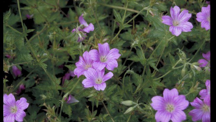 Geranium x oxonianum 'Summer Surprise'