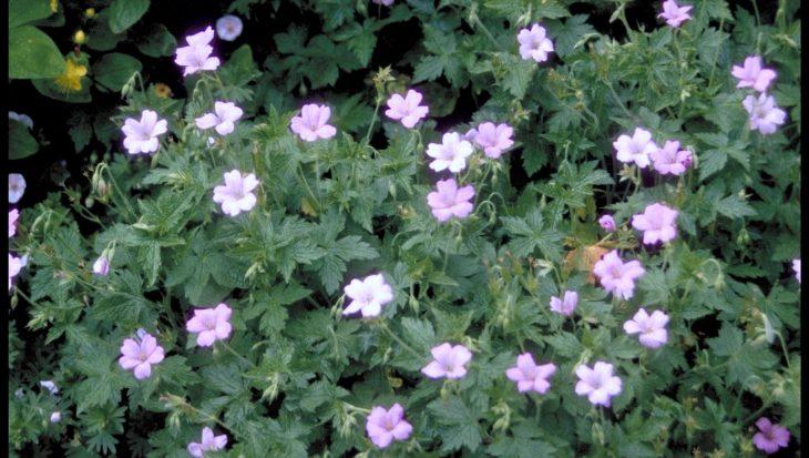 Geranium x oxonianum 'Walter's Gift'