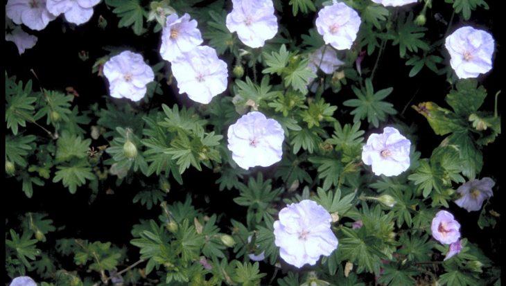 Geranium sanguineum 'Apfelbl?te'