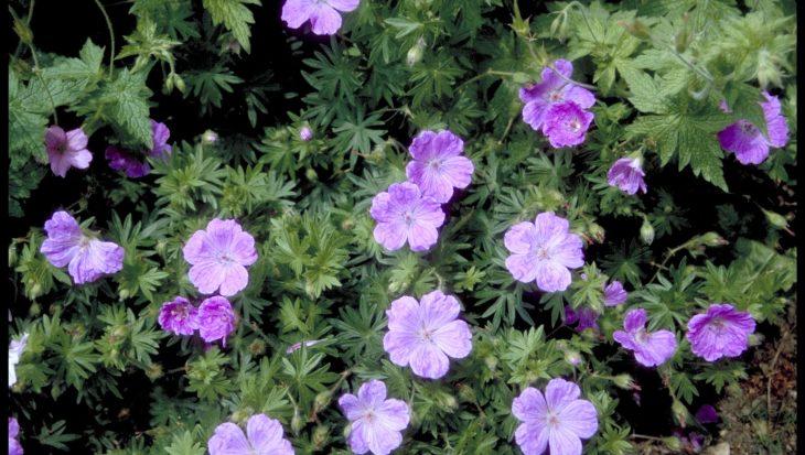 Geranium sanguineum 'Belle of Herterton'