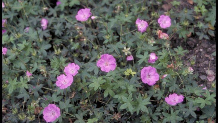 Geranium sanguineum 'Inverness'