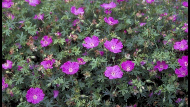 Geranium sanguineum 'Sheppard's Warning'